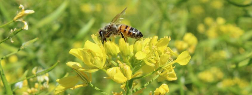 api selvatiche salvaguardia ecosistema
